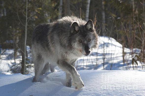O Maior Lobo Do Mundo Canis Lupus Maior Lobo Que J 193